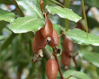 Golden Silverberry Seeds. Elaeagnus pungens. 10 fresh seeds.