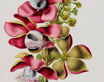 flowers-18037 - couroupita guianensis flowering branch of cannonball deciduous tree red pink flowers printable vintage print picture image
