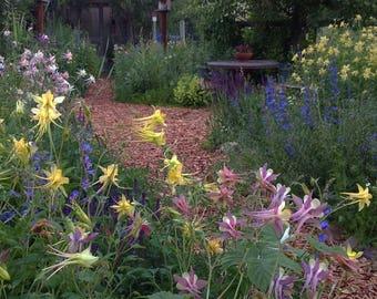 Native Columbine Flower Seeds, Pastel Columbine Seed Mix, Perennial Aquilegia Seeds, Heirloom Columbine Seed Mix, FREE SHIPPING in U.S.