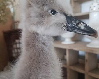 Sale beautiful chick, Schwanküken, Vintage, Taxidermy, rarity, swanduckling