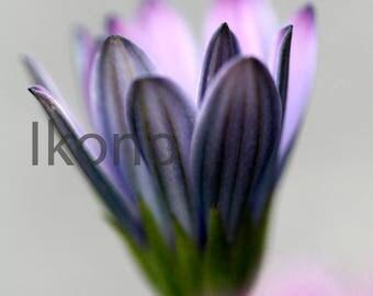 Fine art Nature Macro - Cape purple Osteospermum Daisy flower photo