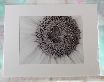 Black and white sunflower closeup, matted