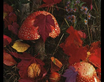 Red Cap Mushrooms Nestle in Bright Red Autumn Leaves 1961 Vintage Nature Art Photo Print Art Illustration Home Decor Wall Art Photo Print