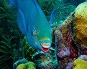 Fishy Grins: Blue Queen Parrot Fish Smiles for a Portrait, Original Underwater Photography, Ocean Art Print on Aluminum, Metal Wall Art