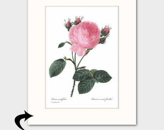 Rose Art w/Mat (Pink Room Wall Hanging, French Home Decor Vintage) Matted Redoute Botanical Artwork