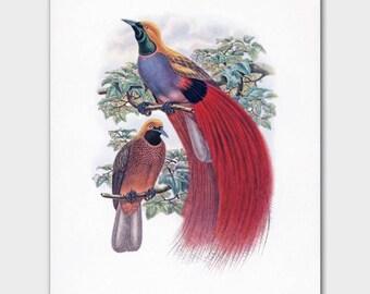 Bird of Paradise Bird Print (Red Room Wall Art, Tropical Home Decor) --- 19th Century John Gould Artwork