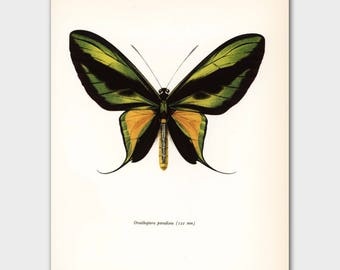 "Butterfly Art (Dorm Decor, Vintage Loft Decor, Bedroom Decor)  ""Tailed Birdwing"" No. 56-1"