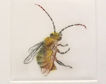 Rare British Bee. Drypoint print Long Horned Bee. Colour etching