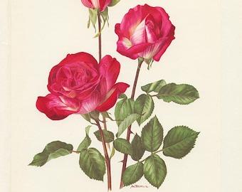 1962 Roses fuchsia Vintage art botanique aquarelle florale rose Rose Gaujard fleurs vintage