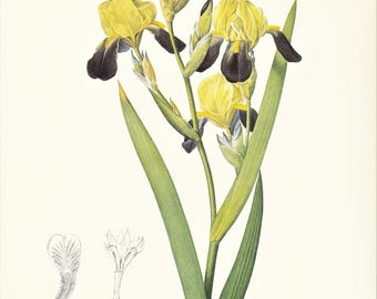 Iris squalens flower botanical print vintage illustration by Pierre-Joseph Redouté gift for gardener plant lover cottage decor  8.5 x 12 in