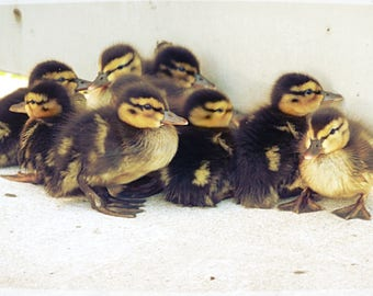 Ducklings, Nature Photography