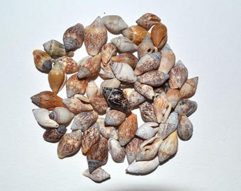 Tiny Seashells, 50 or 100 pcs, Craft Shells, Craft Supplies, Sea Shell Bulk, Sea Shells for Jewelry, Sea Shells for Crafting