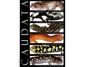 Salamanders of North America Poster