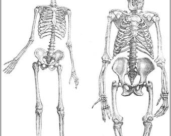 Poster, Many Sizes Available; Skeleton Of Human (1) And Gorilla (2), Unnaturally Stretched