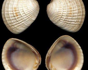Quahog Shells (small) -hand collected, wampum shells, craft shells, beach decor, purple shells, chione seashells, clam shells, bulk shells
