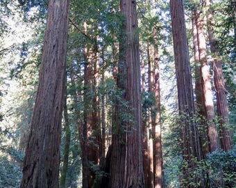 Redwood Forest Peace print