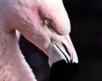 Flamingo - Stock Photography, Digital Download, Photograph, Nature