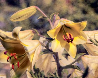 Lillies of the Island