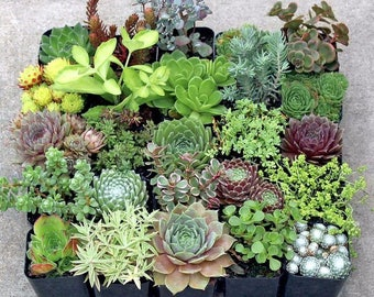 """Assorted Succulent Rosettes Live Plants - 2"""" Succulent Plants Assorted Variety No Two Alike"""