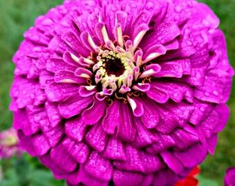 "Purple Zinnia Flower Photography, Purple Zinnia Print, Purple Flower, Floral Decor, Purple Flower, Flower Photo ""Royal Purple Zinnia"""