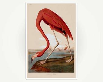 American Flamingo Audubon Print - Art Print from Audubon's The Birds of America