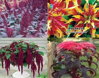 Amaranthus seeds (4 variety)