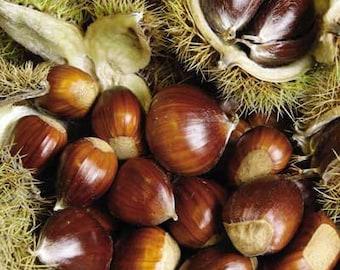 Chinese Chestnut Tree (3 Pack)