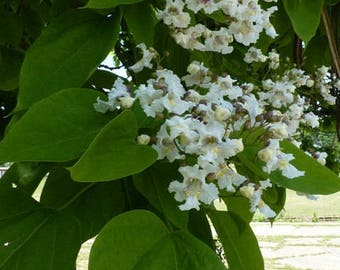 Northern Catalpa Tree (Pack of 2)