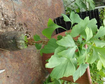 4+ ginkgo biloba plants in one pot. 1 year old. Sent with soil in pot.