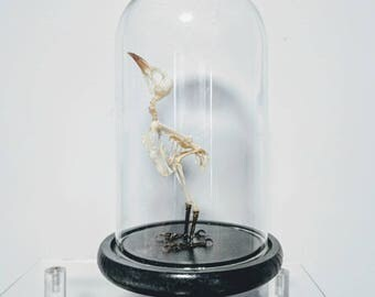 Small Taxidermy Bird Skeleton - Pycnonotus Goiavier - Oddities - Glass Display Dome Included