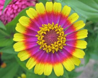 150 CAROUSEL MIX ZINNIA Elegans Carrousel Flower Seeds