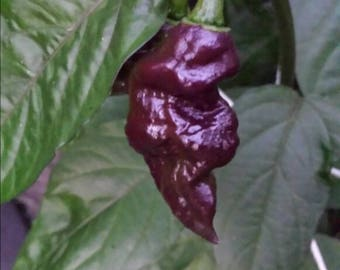 Carolina Reaper, Ghost pepper and many others