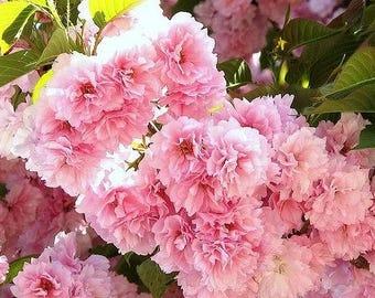 Kwanzan Flowering Cherry 2 Trees
