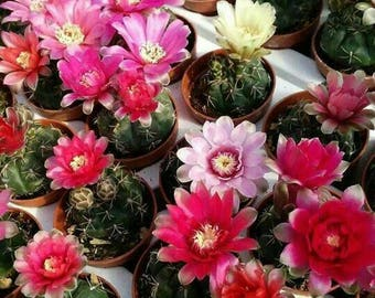 Live plant cactus, Gymnocalycium Baldanium Dwarf chin cactus, outdoor plants, succulents and cactus wedding favors, small cacti favors