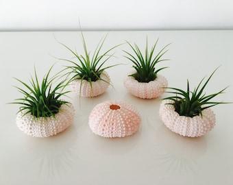 Air plant - terrarium - Urchin - wedding decoration - tillandsia - air plant