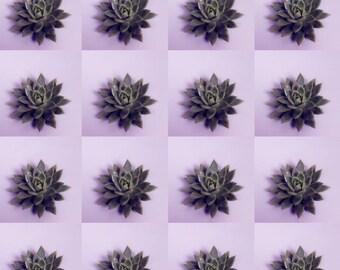 Miranda | 16 X Echeveria (Succulents) Miranda 10cm