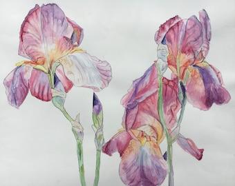 Original watercolour and pen iris flowers
