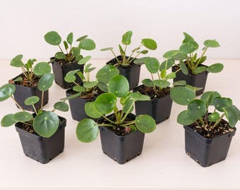 Small Pilea Peperomioides House plant - Chinese money plant - UFO plant - Rare plant
