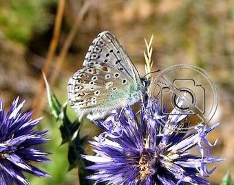 "Macro photo of Provence blue butterfly ""Spring softness"" / Photo size 30 cm X 40 cm"