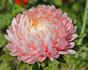 Pink Peony Aster seeds, Aster seeds, pink flower