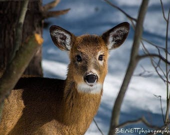 Winter photography: photograph of a young deer in snow.