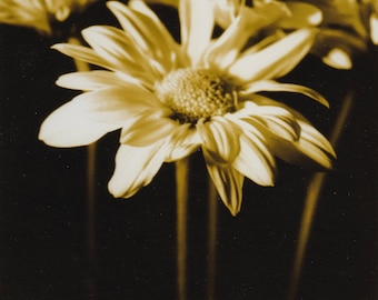 Golden Yellow Daisies Black and White Photograph