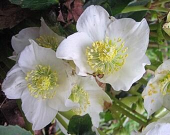 25 Seeds/Pack, Helleborus Christmas Rose Seed - Premium Quality