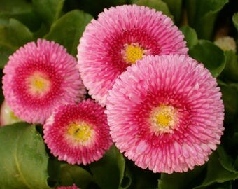 40-100 Seeds/Pack, Pink English Daisy Bellis Perennis Flower Seeds - Premium Quality -