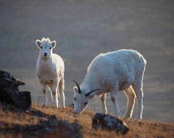 Yew and Lamb, Dall Sheep