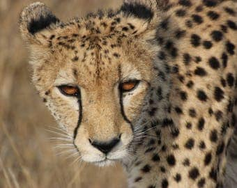Cheetah up close in the African bush