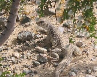 LIZARD in the California Desert