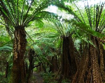 Digital Photo - Otway Rainforest 2 - Victoria Australia