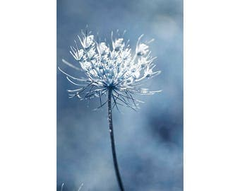 Queen Anne's Lace Print, Navy Blue White Flower Photograph, Floral Wall Decor, Lake Cottage Decor