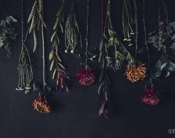 Fleurs de Nuit; fine art photography, modern, wall art, floral photography, dark, floral, art, photo, botanical, mums, protea, by F2images